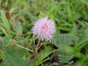 mimosa (mimosa pudica)