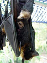 a cub, being nursed. 2005-11-17, Sony Cybershot DSC-F717. keywords: pteropus conspicillatus, spectacled flying-fox, brillenflughund