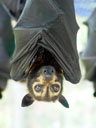 spectacled flying-fox (pteropus conspicillatus) - portrait. 2005-11-19, Sony Cybershot DSC-F717. keywords: pteropus conspicillatus, spectacled flying-fox, brillenflughund
