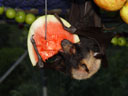 a flying-fox' diet: sweet, fresh watermelons, ...