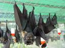 flying fox juvenile. 2005-11-19, Sony Cybershot DSC-F717. keywords: pteropus conspicillatus, spectacled flying-fox, brillenflughund, baby, babies