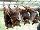 little red flying foxes (pteropus scapulatus). 2005-11-17, Sony Cybershot DSC-F717. keywords: flughund, megachiroptera, bat