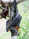grey-headed flying-fox (pteropus poliocephalus), with cub