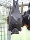 grey-headed flying-fox (pteropus poliocephalus). 2005-11-17, Sony Cybershot DSC-F717. keywords: flughund, megachiroptera, bat