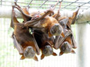little red flying foxes (pteropus scapulatus)