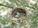 nest of an eastern yellow robin (eopsaltria australis)