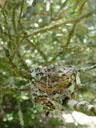 bird's nest, belonging to an eastern yellow robin (eopsaltria australis). 2005-11-19, Sony Cybershot DSC-F717. keywords: gelbkehlchen, gelbbrustgirlitz, bird's nest, vogelnest, goldbauchschnäpper, eggs