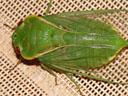 an enormous cicada - northern greengrocer (cyclochila virens). 2005-11-22, Sony Cybershot DSC-F717.