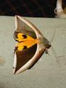 another pretty big moth. 2005-11-22, Sony Cybershot DSC-F717.