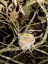 eastern yellow robin (eopsaltria australis), resting in its nest. 2005-11-22, Sony Cybershot DSC-F717. keywords: gelbkehlchen, gelbbrustgirlitz, bird's nest, vogelnest, goldbauchschnäpper