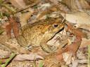 aga-kröte (bufo marinus) - 1935 in australian eingeführt und jetzt eine der grössten plagen || foto details: 2005-11-22, tolga / queensland / australia, Sony Cybershot DSC-F717. keywords: giant neotropical toad, marine toad, aga, risenkröte