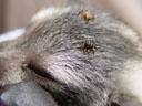 bat flies (nycteribiidae), annoying little parasites. 2005-11-23, Sony Cybershot DSC-F717. keywords: streblidae, streblid, fly, flies, nycteribiidae, nycteribia, basilia, penicillidia