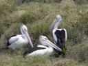 australian pelicans (pelecanus conspicillatus). 2005-11-23, Sony Cybershot DSC-F717.