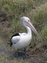 an australian pelican (pelecanus conspicillatus)