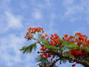 flame tree (delonix regia)