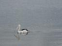 australian pelican (pelecanus conspicillatus). 2005-11-24, Sony Cybershot DSC-F717.
