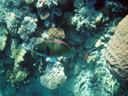 a parrotfish (scarus sp.)