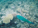 bullethead parrotfish (scarus sordidus)