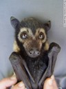 magenta - flying fox baby