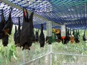 spectacled flying foxes. 2005-11-17, Sony Cybershot DSC-F717.