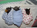 flying fox babies, wrapped up