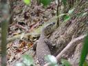 a monitor lizard (varanus sp.). 2005-11-26, Sony Cybershot DSC-F717.