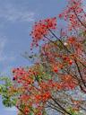 flowering tree. 2005-11-26, Sony Cybershot DSC-F717. keywords: orange bells, flowers