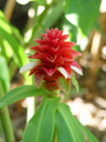 spiral ginger (costus barbatus)