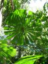 australian fan palm (licuala ramsayi). 2005-11-27, Sony Cybershot DSC-F717. keywords: keilblattfächerpalme