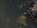 freshwater turtles. 2005-11-27, Sony Cybershot DSC-F717.