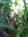 golden-orb spider (nephila pilipes). 2005-11-27, Sony Cybershot DSC-F717.