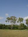 eucalypt trees. 2005-11-28, Sony Cybershot DSC-F717.
