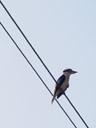 a kingfisher (dacelo sp.?). 2005-11-28, Sony Cybershot DSC-F717.