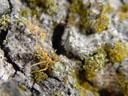 green tree ants (oecophylla smaragdina)