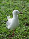 a curios silver gull (larus novaehollandiae)