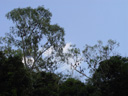 flying foxes hanging in the trees