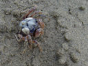 blueish crabs on the beach in hervey bay - they would dig themselves in within seconds