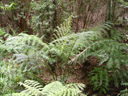 bad photo of an impressive plant: king ferns (angiopteris evecta) predate the dinosaurs!. 2005-12-01, Sony Cybershot DSC-F717.