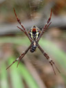 eine webspinne (argiope keyserlingi)