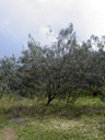 horsetail she-oak (casuarina equisetifolia var.incana). 2005-12-01, Sony Cybershot DSC-F717.