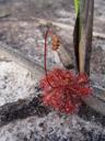 spoon-leaved sundew (drosera spatulata)