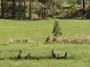 kangaroos, enjoying the shade. 2005-12-04, Sony Cybershot DSC-F717.