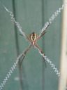 st andrews cross spider (argiope keyserlingi)