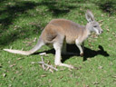 red kangaroo (macropus rufus). 2005-12-04, Sony Cybershot DSC-F717.