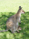 kangaroo with joey (macropus sp.?). 2005-12-04, Sony Cybershot DSC-F717. keywords: känguruh, baby