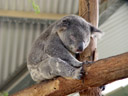 koala (phascolarctos cinereus), sleeping