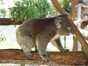 a koala (phascolarctos cinereus), awake and actually moving (slowly)!. 2005-12-05, Sony Cybershot DSC-F717.