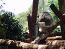 ...they kinda look like little drunk guys. 2005-12-05, Sony Cybershot DSC-F717. keywords: koala, phascolarctos cinereus