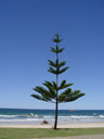 lonely tree, at oxley beach