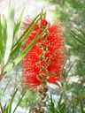 red bottlebrush (callistemon citrinus). 2005-12-05, Sony Cybershot DSC-F717. keywords: schönfaden